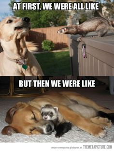 Haha! So cute! Animals love unconditionally funny animals, ferret and dog, funny dogs, ferret friends, close friends, funni ferret, pet ferrets, animal friends, funny ferrets