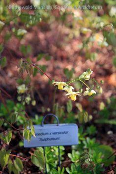versicolor sulphureum