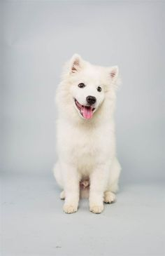 Brody the American Eskimo Dog american eskimo dog, eskimo dogs, winter coat, pet, dog houses, puppies american eskimo, american eskimo puppy, puppi bowl, bowls