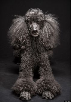 dog photos, dog project, black dogs, therapy dogs, service dogs, puppi, black poodle