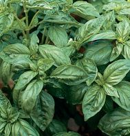 "Traditional Italian basil.  Genovese Compact    Authentic flavor and appearance. Tall and relatively slow to bolt with large, dark green leaves about 3"" long. Ht. 24-30"". 68 days to harvest."