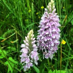Common spotted orchid, spotted by Mark Leah at Edale End, Peak District.