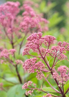 Joe Pye Weed - maybe in the back with butterfly bushes?