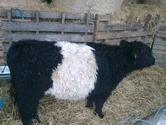 Belted Galloway cow from Ireland. Found some in Napa, Ca