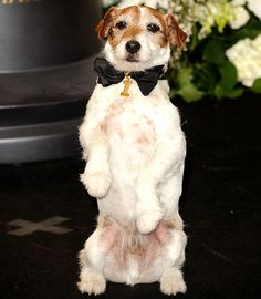 Uggie at the Oscars. Adorable.