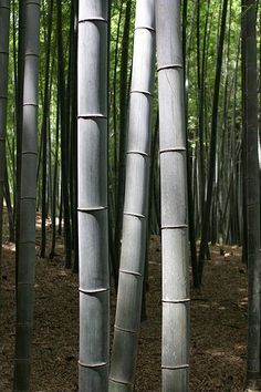 Bamboo trees in Kyoto, Japan.  A really nice blue/gray color on the culms.