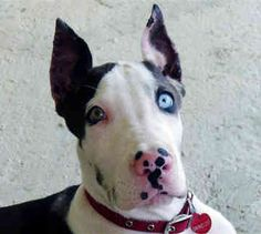 great danes, dane puppi, beauti eye, dreams, darl dog, colors, working dogs, ador, eyes