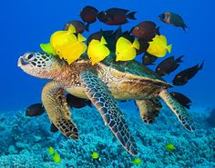A turtle swims through a make-shift underwater car wash, surrounded by a bright shoal of yellow tangs eager to rid him of algae that had collected on his shell. Photographer Masa Ushioda captured the sight off the coast of  Kailua Kona, in Hawaii.