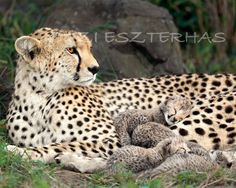 SNUGGLE BABY CHEETAHS Photo- 8 X 10 Print - Baby Animal Photograph, Wildlife Photography, Wall Decor, Nursery Art, African Safari, Nature. $25.00, via Etsy.