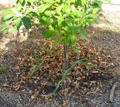 Plant garlic cloves around fruit trees to discourage borers.