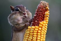 chipmunk eats corn