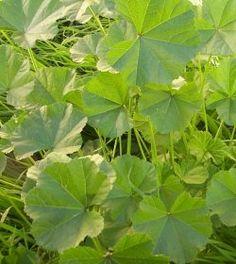 Mallows - A nutritious edible weed