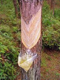 Pine sap, pitch, tar and its uses