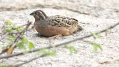 The Jungle Bush Quail, or Perdicula asiatica feeds on seeds. particularly of grasses, although it also takes insects. Breeding takes place after the rains and lasts until the onset of colder weather, with the precise period varying across the range; five or six eggs are produced and incubation takes between 16 and 18 days. The species is not globally threatened as it has an extensive range and tends to avoid agricultural areas.  The Jungle Bush-Quail is largely sedentary.