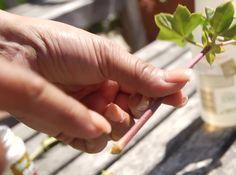 propagating geraniums - tutorial