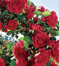 Stairway to Heaven Climbing Rose