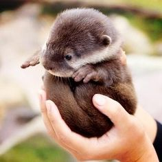 a curled up baby otter!