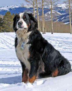 Own a bernese mountain dog.