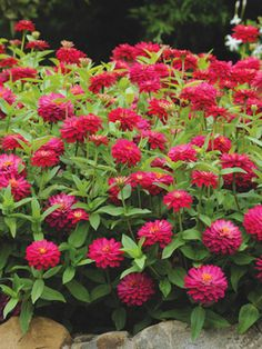 Super-Easy Annual - zinnias. Mildew and leaf spots are often an enemy of zinnias, but not for 'Double Zahara Cherry'. Its double blooms attract bees and butterflies. Like all zinnias, 'Zahara' is heat tolerant and sun-loving