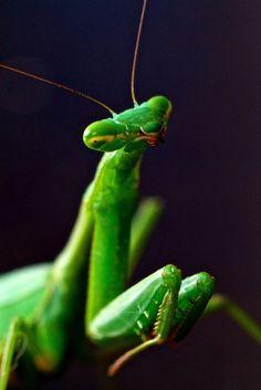 Praying Mantis visits.