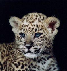 baby leopard!