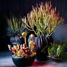 Spooky plants: 'Sticks on Fire' euphorbia + carnivorous plants