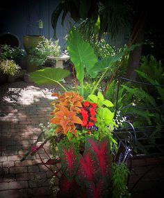 Container Garden Idea- great variety of color. Last summer I had an elephant ear plant w/multi-colored flowers in a big pot under our front pergola.  I loved it so much!  ~Debbie