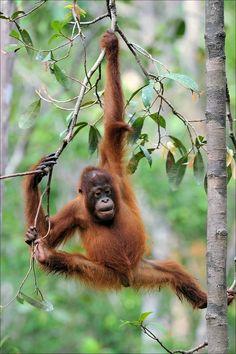 Orangutan | Borneo, Indonesia