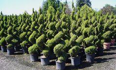 Dwarf Evergreen Shrubs   Dwarf Spruce Topiary