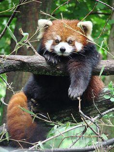 Red Panda  (Ailurus fulgens styani) at Binder Park Zoo by Paula~Koala, via Flickr