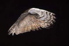 Great horned owl, by Hector Astorga. Fantastic picture.