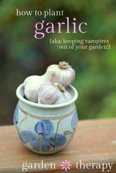 Plant garlic 3-6 weeks before the first frost. In many areas, that's around Halloween - so it's a good reminder to plant garlic to keep the vampires away! More tips on how to plant garlic in the post. Because garden grown garlic is seriously THE BEST EVER!