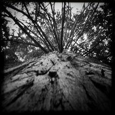 Tree just below the bridge at Deception Pass