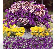 Cottage Farms 8-pc Burgundy & Blue Petunia Wave Medley $27.48