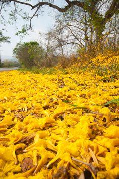 Alfombra de flores del Araguaney, árbol nacional de Venezuela