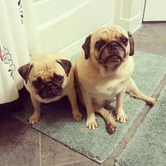 """You watch us pee, we watch you pee. Hey, aren't you going to scratch the ground after you're done? No?…weirdo."" (SR) fluffi, hey, cosmo, ground, animalsss, noweirdo, dog, cutefunni, hugapug"
