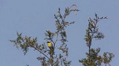 photo by Henry McLin: Common Yellowthroat singing