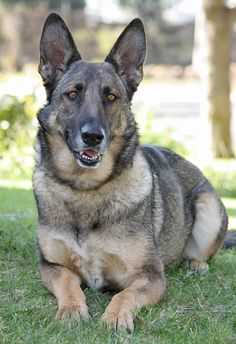 Shannon is available for adoption at Westside German Shepherd Rescue of Los Angeles