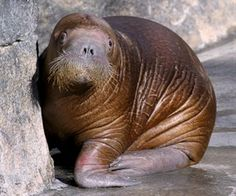 It's a boy! Orphaned Pacific walrus calf Pakak (name meaning one who gets into everything) is ready to meet you at the Indianapolis Zoo!