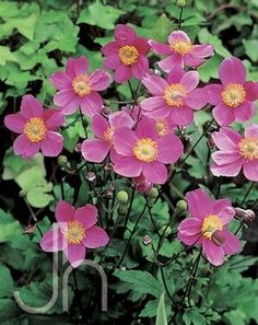 Japanese anemone  3 ft plants bear showy pink blooms in the fall.