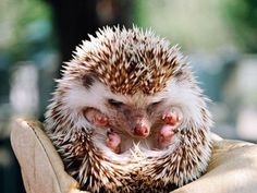 I love when they roll up like this!!! :) Hedgehog love