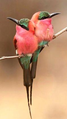 Beautiful Carmine Birds