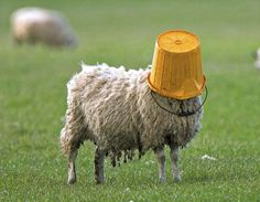 sheep masquerading as a bucket... at home, animals, foods, buckets, party people, closemind sheepbuckethead, feelings, bucket lists, fields
