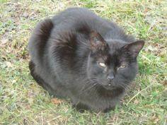 SPIROU Je suis un chat mâle dominant qui déteste les autres chats. Je suis donc très malheureux de devoir vivre avec beaucoup de chats. J'ai un coryza chronique mais je vis très bien avec et sans soin. SPA de Dole et sa région - Refuge de Biarne(Jura) 03.84.82.68.51
