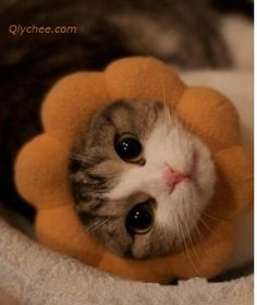 People can't understand the cat… hats, cats, lion, costumes, anim, daisies, blog, flowers, kitty