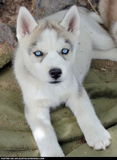 Husky Puppy with the most gorgeous blue eyes! animals with blue eyes, huski puppi, huskies with blue eyes, husky blue eyes, huskie puppies, siberian huskies, dog, huskies puppies, huskys with blue eyes