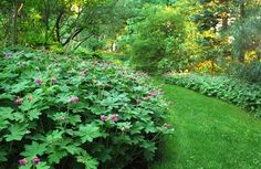 Big root geranium (Geranium macrorrhizum)... a great groundcover for shady areas. Follow the link for a slideshow of 10 more.