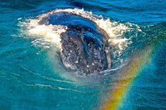 Humpbacks breathe rainbows as Tommy Campion found out on a recent trip aboard Quick Cat II  Humpback Whale Watching in the calm waters on the lee side of Fraser Island #whalesherveybay #fraserisland #queensland #australia #humpbackwhales #whalewatching http://www.whalewatch.com.au/ www.queensland.com/whales