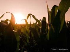 Corn is the primary source of ethanol in the United States, but this has detrimental effects to the environment. http://articles.mercola.com/sites/articles/archive/2013/11/26/corn-based-ethanol.aspx