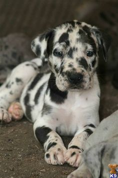 Catahoula Leopard Dog. Oh my cute - Click image to find more Animals Pinterest pins